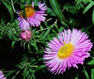 Flower, Aster, Plant, Flora Royalty Free Stock Images
