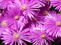 Flower, Aster, Purple, Ice Plant Royalty Free Stock Photos