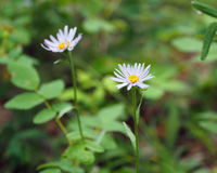 Flower Aster sibiricus. Aster sibiricus from the family Asteraceae (Yakutia Royalty Free Stock Image