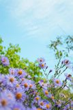 Flower, Aster, Sky, Flowering Plant royalty free stock images