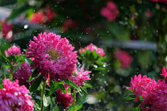 Flower asters in the rain. With a bokeh Royalty Free Stock Images