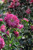 Flower asters in the rain. With a bokeh Stock Photography