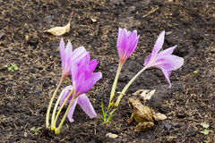 Flower autumn Crocus and the frog Stock Images