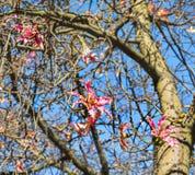 Flower in autumn of Floss Silk tree Stock Photos