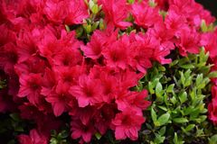 Azalea. Flower of Azalea/Called`Kurume Tsutuji`in Japan stock images