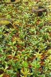 Flower azalea sprout Stock Photography