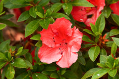Flower azaleas closeup Stock Photos