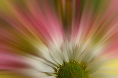 Flower background. Daisy with design lines as spring background Stock Image