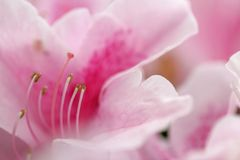 Flower background. Floral background. Close-up of Azalea flower. Shallow DOF, focus on pistil and stamens stock photo