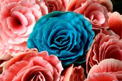 Flower background, blue and pink begonias,. Symbol of love and desire for floral wallpaper Royalty Free Stock Images