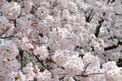 Flower background of cherry blossoms during spring in Japan Royalty Free Stock Photos