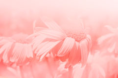 Flower background. Daisy pink background. Windy weather Royalty Free Stock Photo