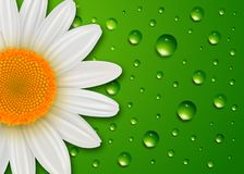 Flower background daisy and water drops royalty free illustration