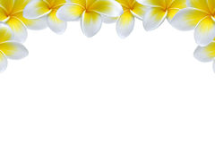 Flower background  frame/ border. Plumeria  flower  frame/ border backgrounds Royalty Free Stock Photos