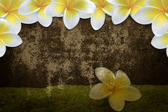 Flower background  frame/ border. Plumeria  flower  frame/ border backgrounds Royalty Free Stock Image