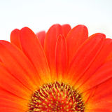 Flower background. Gerbera. Royalty Free Stock Photography