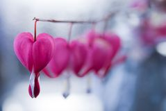 Flower Background. Flower in heart shape (Lamprocapnos spectabilis) background Royalty Free Stock Photos