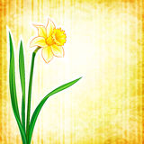 Flower background - narcissus Royalty Free Stock Photography