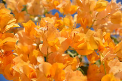 Flower background - orange bougainvillea Royalty Free Stock Image