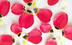 Flower background with petals of tulips royalty free stock photography