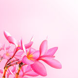 Flower background. Pink plumeria flowers Stock Photo
