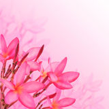 Flower background. Pink plumeria flowers Stock Photography