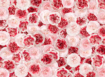 Flower background from a pink and red carnation Royalty Free Stock Images