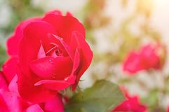 Flower background with pink rose flower, closeup Royalty Free Stock Photo
