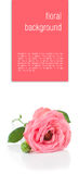 Flower background with pink roses, isolated Stock Image
