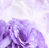 Flower Background Purple Lisianthus. Flower background with violet eustoma or lisianthus Royalty Free Stock Photography