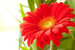 Flower Background. Red Gerbera Flower . Stock Photos
