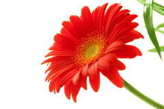 Flower Background. Red Gerbera Flower . Royalty Free Stock Photography