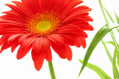 Flower Background. Red Gerbera Flower . Royalty Free Stock Images