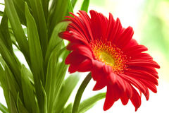 Flower Background. Red Gerbera Flower . Stock Image