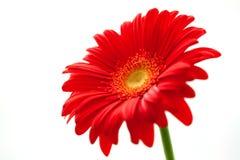 Flower Background. Red Gerbera Flower . Royalty Free Stock Photo