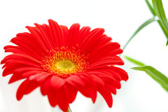 Flower Background. Red Gerbera Flower . Flower design Royalty Free Stock Photo