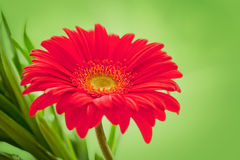Flower Background. Red Gerbera Flower . Flower design Stock Image