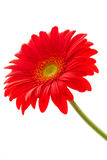 Flower Background. Red Gerbera Flower . Flower design Royalty Free Stock Photos
