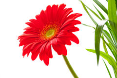 Flower Background. Red Gerbera Flower . Flower design Royalty Free Stock Images