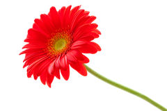 Flower Background. Red Gerbera Flower . Flower design Stock Photo