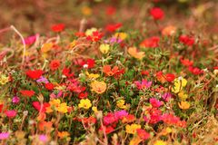 Flower background. Red, yellow, fuchsia flowers. Stock Photo