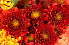 Flower background of red and yellow mums Royalty Free Stock Photography