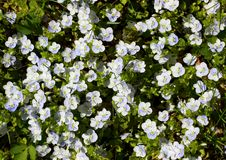 Flower background of Slender speedwell royalty free stock photography