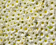Flower background. Background of small beautiful flowers Stock Images