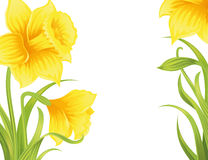 Flower background. Spring daffodils on the white background Royalty Free Stock Photos
