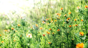Flower background with sun beams Royalty Free Stock Photo