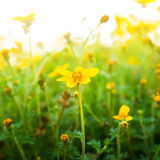 Flower background with sun rays. Stock Image