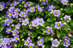 Flower background texture beautiful Persian Violet Stock Photo