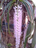 Flower. Bahagi  Qeen in Assam Stock Photo