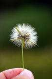 Flower ball. Small dry flower ready to transport by wind to new  places Stock Photo